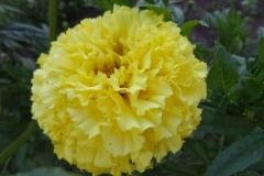 Kwiat turek