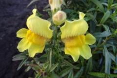Lwie paszcze żółte