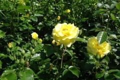 róża żółta Inowrocław 2