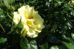 róża żółta Inowrocław