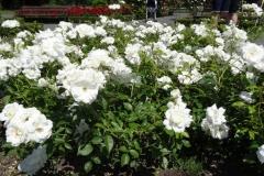 róża biała Inowrocław