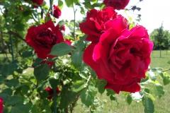 róża czerwona Inowrocław