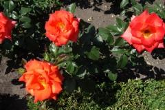 róża herbaciana Inowrocław