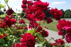 róże czerwone Inowrocław 2