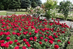 róże czerwone Inowrocław 3
