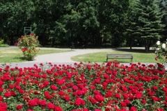 róże czerwone Inowrocław 4