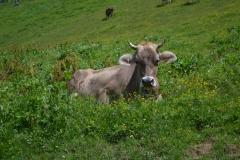 krowa Liechtenstein