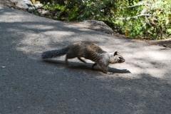 Park Narodowy Yosemite - wiewiórka