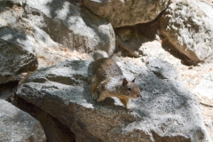 Park Narodowy Yosemite - wiewiórka 2