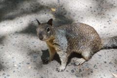 Park Narodowy Yosemite - wiewiórka 3