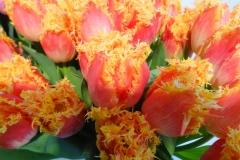 Herbaciane tulipany