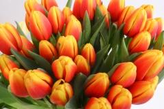 Herbaciane tulipany 2