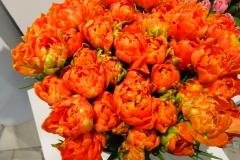 Herbaciane tulipany 3
