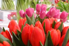 Czerwone i różowe tulipany