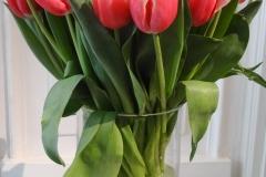 Biało-czerwone tulipany