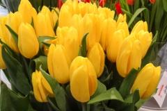Żółte tulipany 3