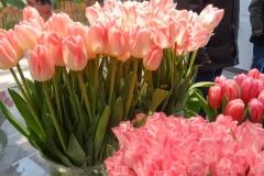 Różowe tulipany 5